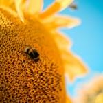 pszczoła na kwiatku, miód